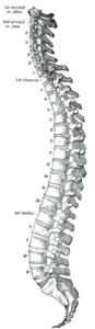 wikipedia「脊椎」http://healthil.jp/31485